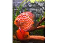 4 x 5+ inch discus for sale
