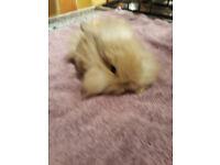 Beautiful Mini Lion Lops for Sale