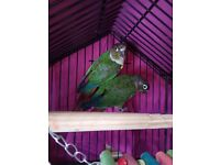 Two Green Cheeked Conures for Sale