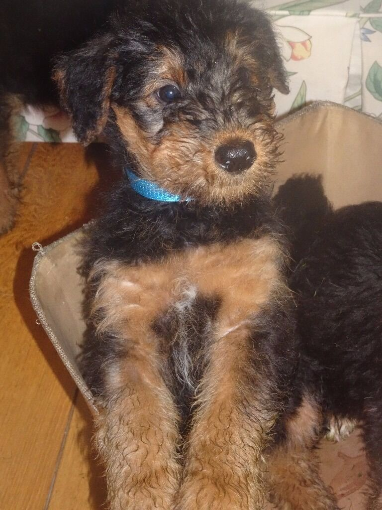 Airedale Terrier Puppies for sale. Kennel Club Registered  in Keady, County Armagh  Gumtree