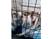 Puppies for sale lurcher cross whippet