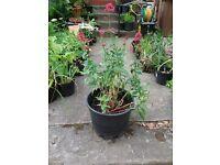 Garden plants - aquilegia , crocosmia, iris, hosta, peony, schizostylis, geranium, foxglove & more