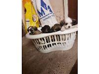 4 Lhasa Apso pups/puppies