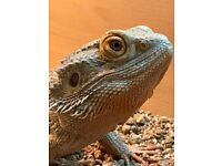 Male Bearded Dragon Approx 3 years old
