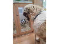 Beautiful saint bernard puppy for a good home
