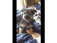 Chihuahua X Yorkie puppy