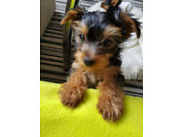 2 adorable female yorkshire terrier puppies for sale!