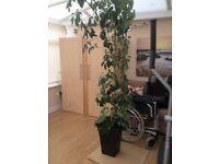 Lovely large houseplant