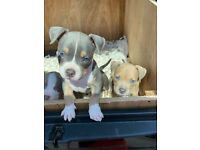 Pocket bully pups