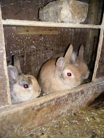 Rabbits for sale urgent!!!!!