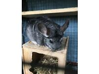 Two male chinchillas