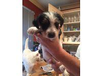 Jack X Yorkie puppies