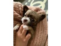 Full Chihuahua boy