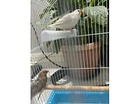 Pair of zebra finches with cage