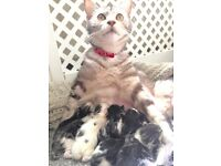 2 beautiful maine coon x kittens,viewings From 12/7 to leave 06/08/16.for info txt 07743023795