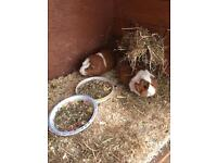2 Female Guinea Pigs with Home