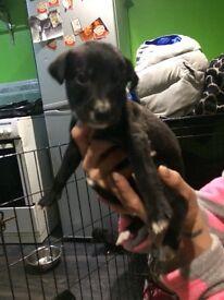 Bull greyhound pups ( girls only )