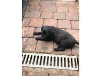 Patterdale terrier boy pup