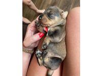 Standard Wirehaired Dacshund pups
