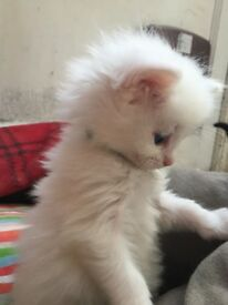 Ragdoll kittens with stunning blue eyes