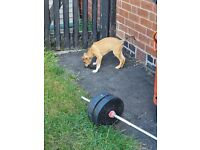 3 Bull Greyhound Saluki Puppies £500 per puppy