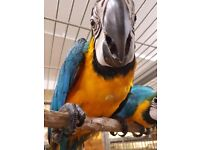Rehomed baby Blue and Gold Macaw
