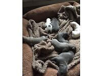 WHIPPET PUPS FOR SALE