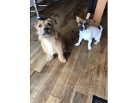 Border terrier X Jack Russel pups