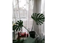 Large Swiss Cheese indoor house plant / big Monstera Deliciosa house plant in pot