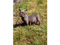 Blue male French bulldog puppie