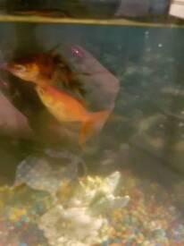 2 oranda goldfish (£5 ono - need to be sold asap)