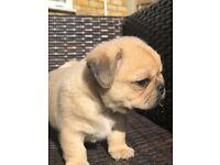 Cute pug x shiranian puppies
