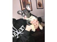 French Bulldog puppy. Girl. Ready now. 16.04.18