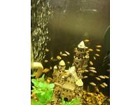 Fish Malawi for sale