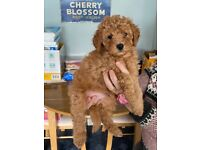 Lhasapoo puppy's for sale