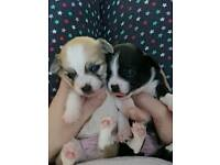 Pedigree chihuahua pups