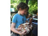 Rehabilitated Rescue hens