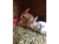Baby Mini Rex Rabbits for sale
