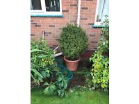 Box ball standard shrub in pot, very large healthy plant