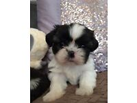 Gorgeous Healthy Shih Tzu Puppies , Ready from 27/8