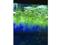 FLOATING TROPICAL FISH PLANT(LIMNOBUIM LAEVIGTUIM)