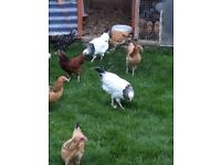 Pure bred Sussex Bantams