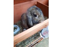 Selling French Lop Rabbit Buck