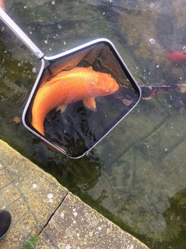 Large Different Types Of Fish To Include Koi Carp Mirror Carp In
