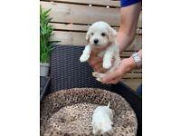 Cavachon / bichon puppies