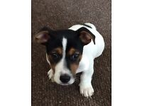16 week old male jack russell for sale