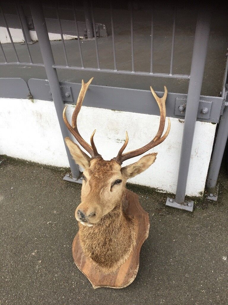 TAXIDERMY MAGNIFICENT STAGS HEAD WITH 10 POINTS