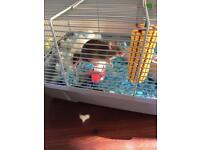 Male fancy mouse (chocolate) and cage