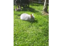 Pure bred lion head rabbit