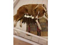 6 Pedigree Border Collie pups for sale
